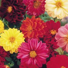 Dahlia Unwins Dwarf Mix - 65 seeds Annual