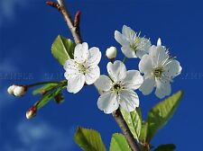 WHITE CHERRY TREE BLOSSOM PHOTO ART PRINT POSTER PICTURE BMP2294A