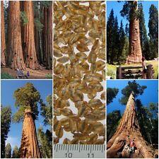 30 Seeds Sequoiadendron Giganteum - GIANT REDWOOD Giant Sequoia tree Seeds Real