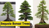 *Rare* Bonsai World's Largest Tree Fresh Seeds Produced and Shipped From Canada