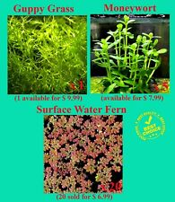 3 Easy Aquarium Plants - Guppy Grass +Moneywort + Red Surface plant Buy2Get1Free
