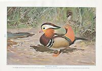 1910 Naturale Storia Double Sided Stampa ~ Mandarino Anatra/Night-Heron Shoebill