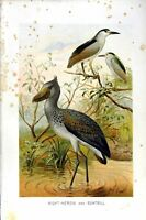 Old Antique Print Natural History 1895 Night Heron Boatbill Birds Colour 19th