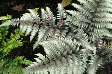 Japanese Painted Fern PEWTER LACE Athyrium Perennial Shade Plant Silver Foliage