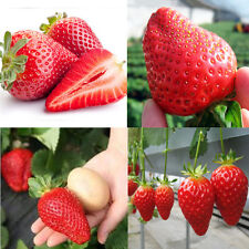 Wholesale 150 Pcs Giant Strawberry Seeds Excellent High in Vitamin Fruit Plants
