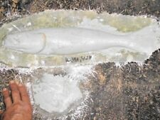 "16"" Weakfish ( seatrout ) - unpainted fiberglass reproduction blank"