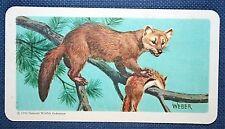 American Pine Marten   Illustrated Colour Card  VGC
