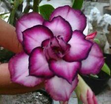 4 Dbl White Purple Desert Rose Seeds Adenium Obesum Flower Perennial Seed 341