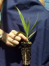 WASHINGTONIA FILIFERA alv Palma californiana pianta California fan palm plant
