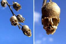 100pcs Snap Dragon Seed Pod (Antirrhinum) Flower Seeds Plant Seed