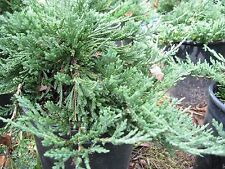 'Blue Rug' Juniper, 100 plants, evergreen shrub, ground cover, FREE delivery