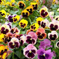 DARK LEAVED PANSY VIOLA Labradorica Purpurea Black Burgundy Purple 20 Seeds