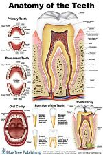 Anatomy of the Teeth small poster Dry Erase compatible