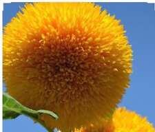 Sunflower Seeds 'Teddy Bear' Rare Flower Seeds 6 feet tall