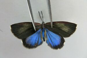 M11913. Insects butterflies: Zygaenidae sp. Vietnam Central