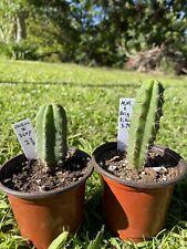 Echinopsis San Pedro Seedlings, Jessica X Scopulicola, Mm X Brigesii Eileen