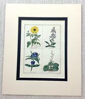 Antico Botanico Stampa Fiori Mano Colorato Crucianella Maund's Botanico Giardino