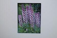 10 Samen Ban-Zhi-Lian, Scutellaria barbata, selten !!!,TCM, # 196
