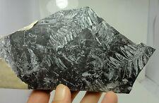 Fossil Fern from Pennsylvania, Rare, Ginkgo, Dinosaur, Amber age, specimen, p 9