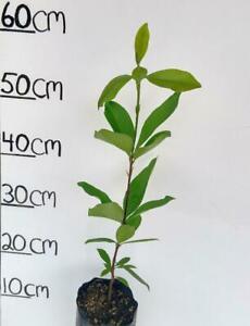 ORGANIC YELLOW GRUMICHAMA CHERRY FRUIT TREE PLANT 2 YEARS OLD