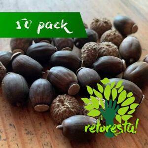 White Oak Seeds (Quercus Deserticola) - 50 pieces pack