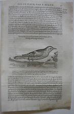 Schwarzspecht piqus marcio ORIG madera corte 1555 Belon ornitología