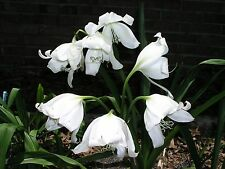 Crinum Lily, Jagus Scillafolia, small-size bulb, NEW, rare, vanilla scent