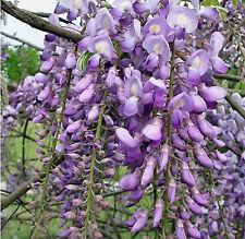 10 Samen Blauregen, Wisteria sinensis, lila Blütentrauben, Winterhart