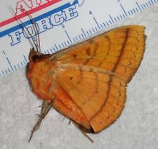 Rare African Moth species Cameroon #X74 Lepidoptera Entomology Insect Butterfly