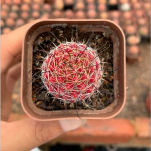 cactus Succulent plants Plants Home Decoration