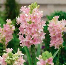 20Pcs Seeds Polianthes Tuberosa Flowers Rare Beautiful Kinds Plants Home Decor