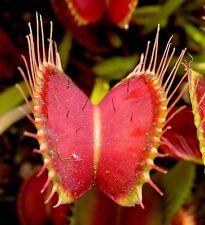 VENUS ATRAPAMOSCAS Dionaea muscipula-la - 5 semillas