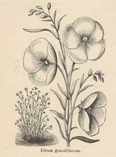 C8358 Linum grandiflorum - Stampa antica - 1892 Engraving