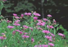 Ancient Medicinal Plant! Brown Knapweed, Centaurea jacea 25 seeds