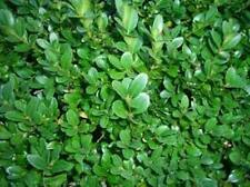 500 x Common Box seeds (buxus sempervirens) tree seeds.