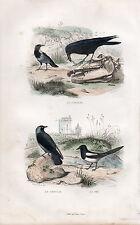 BUFFON / LES OISEAUX. Le Corbeau - Le Choucas - La Pie