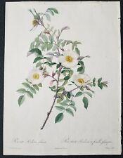 Joseph  Redoute 1817 Genuine Original Hand Color Antique Engraving
