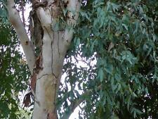 River Red Gum ( Eucalyptus camaldulensis ) 50 Seeds