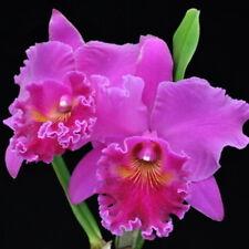 """Bin) Pot Mitsuko Akatsuka 'Volcano Queen' Cattleya Orchid Plant 2 1/2"""" Pot"""