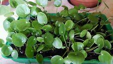 Terrariumpflanzen Pilea Peperomioides Setzling 6-10 cm gross! ECHTE PFLANZE
