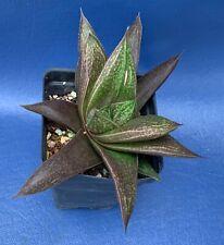 "Gasterhaworthia 'A-1' Verhoeven In A 2"" Pot, Succulent Plant, #1343"