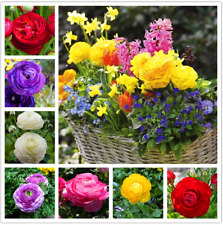 100 Pcs Seeds Ranunculus Asiaticus Flower Bonsai Garden Plants Persian Buttercup