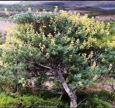Lupinus Arboreus Tree Lupin! arbuste Hardy, greay pour la faune! Upto 2 M HAUT! 🐝