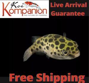 3/5/10X Spotted/ Leopard Puffer Fish Koi Kompanion Free Shipping