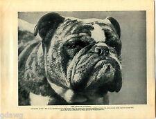 1930 Book Plate Print Dog Bulldog British Jasperdin Din Dock Leaf Guido Lordship