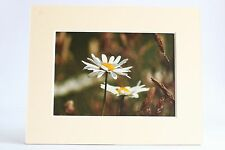 Giant Oxeye Daisies, flowers, nature unique mounted prints/wall art