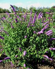 Butterfly bush-buddleia davidii - 50 graines-arbuste d'ornement