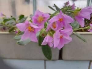 Talinum cuneifolium 20 SEEDS fresh BULB  CAUDEX