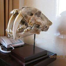 New Saber Tooth Cat Tiger Skull Sabertooth Smilodon Fatalis Model White Color