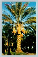 Indio CA Greetings Date Palms Oldest Cultivated Fruit Chrome California Postcard